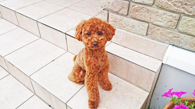 犬の甘える行動⑤:帰宅を出迎えてくれる!