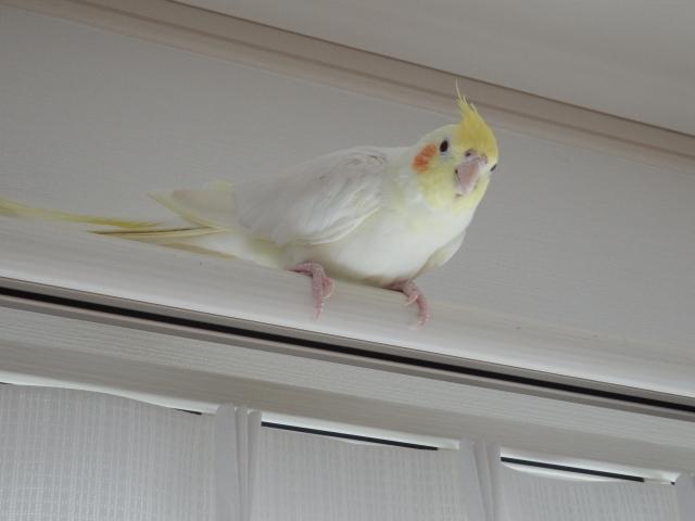 遊び方④:インコを放鳥する!