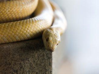 【緊急!】ヘビが餌を食べない!?拒食が起こる7つの原因と対応方法!