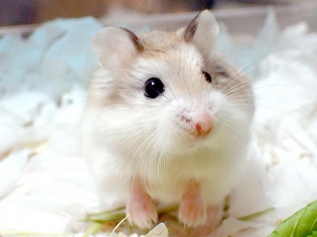 小柄な身体が可愛らしい種類!ロボロフスキーハムスター