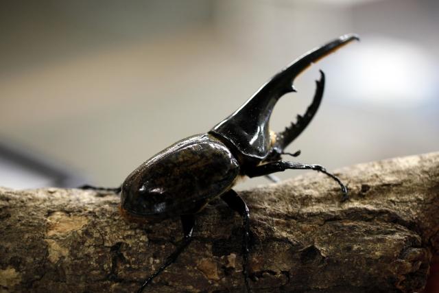カブトムシやクワガタの一生の流れについて