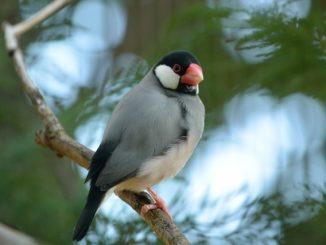見た目がかわいい!文鳥にはどんな種類がいるの?性格はどんな感じ?