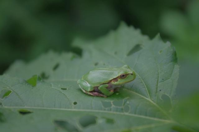 世界的に見ればアリを餌として食べるカエルは存在する