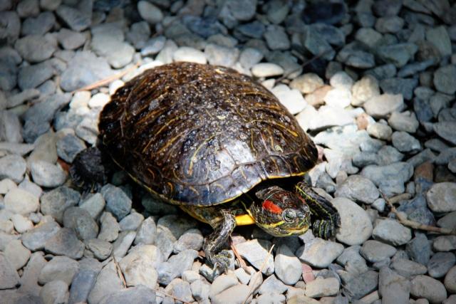 冬眠してもよい亀と室内飼育すべき場合の考え方