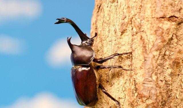 カブトムシが成虫に羽化する時期はいつ?飼育の注意点は?