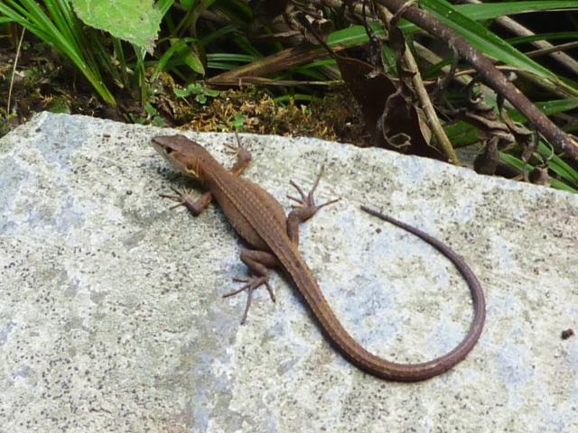 日本原産の「ニホンカナヘビ」は初心者向けの入門種と言われるトカゲ
