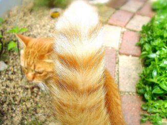 猫は怒るとしっぽの動きはどうなる?尻尾に触れると怒るの?