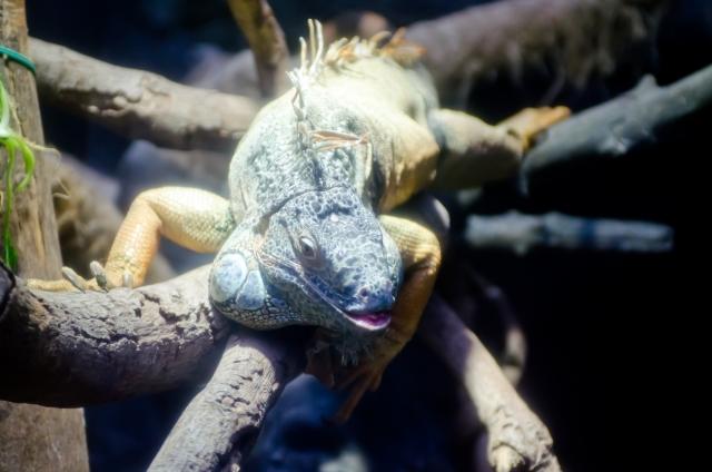 人になつくペットとして飼える爬虫類②:トカゲ編