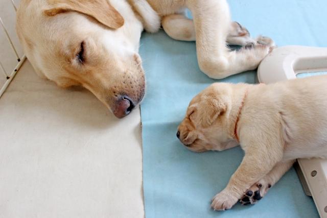 犬のあくびの理由①:眠い