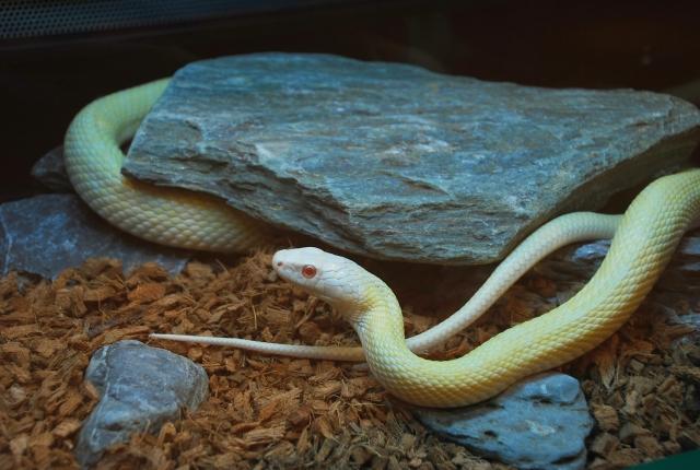 人になつくペットとして飼える爬虫類③:ヘビ編
