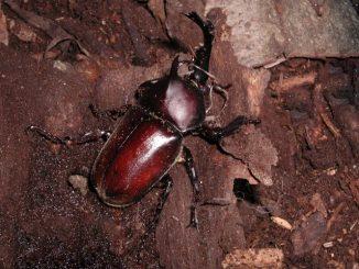 【必見!】カブトムシやクワガタが羽化不全を起こす原因と対策まとめ!