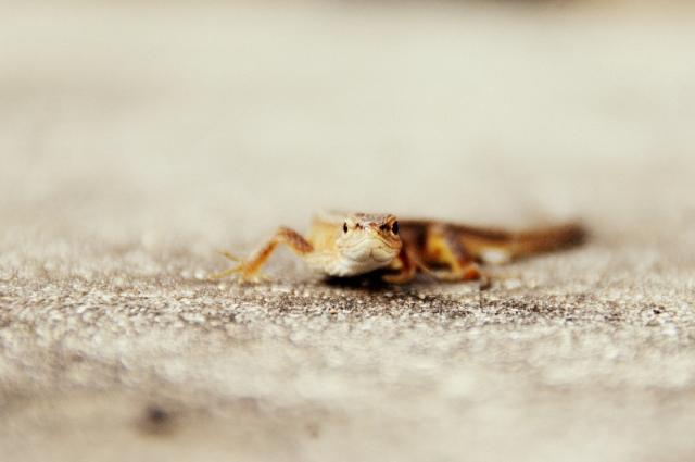日本で飼育数が多いカナヘビの性別の見分け方は基本的に尾の付け根