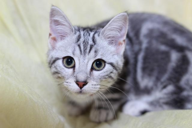 1. 定番中の定番、甘えん坊な種類の猫といえば「アメリカンショートヘア」