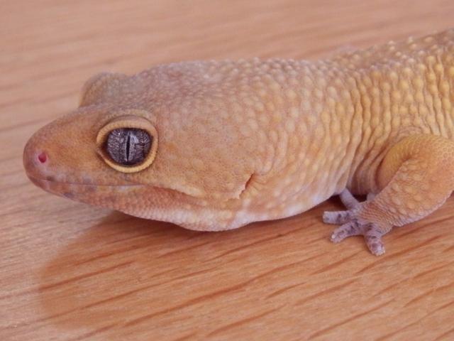 ヒョウモントカゲモドキ(レオパードゲッコー)の性別の見分け方は後肢の間にある鱗