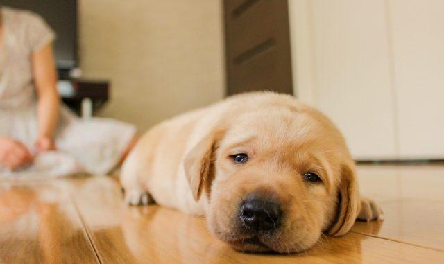 Resultado de imagen para Labradors 犬 抱きしめる