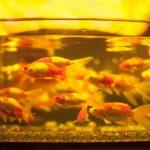 【飼育方法別】冬も金魚に餌を与えるべき?量や回数はどうすればいい?