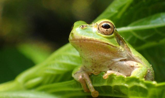 【緊急時に必読!】カエルが餌を食べない時の原因と解決方法、予防策まで!