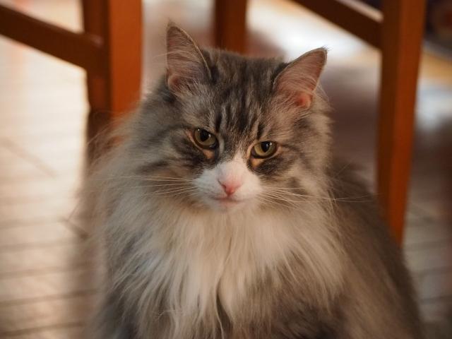 4. ふわふわの体毛が可愛らしい、実は結構甘えん坊?「ノルウェージャン・フォレスト・キャット」