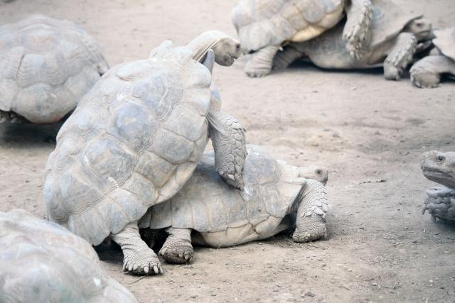 人になつくペットとして飼える爬虫類①:リクガメ編