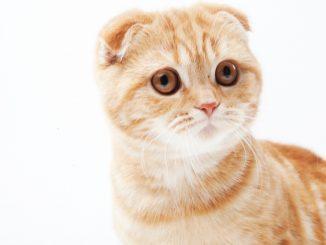 可愛すぎる!甘えん坊な性格が魅力の猫の種類7選!