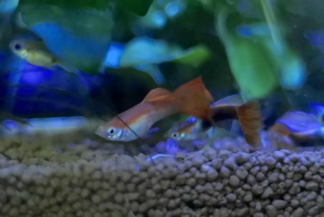 初心者におすすめの熱帯魚は「ネオンテトラ」や「グッピー」