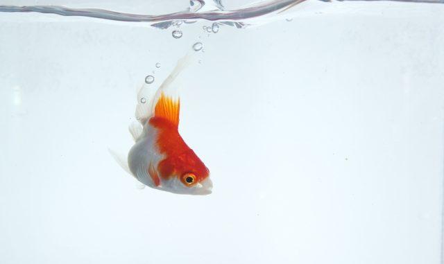 旅行に行く前に必読!金魚は餌をあげない環境でも何日間耐えられる?