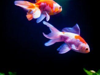 金魚にあげる餌の1回あたりの量と1日あたりの頻度どれくらいがいいの?