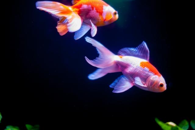 1回のエサやりで与える量は金魚が数分で食べきれる分だけを!
