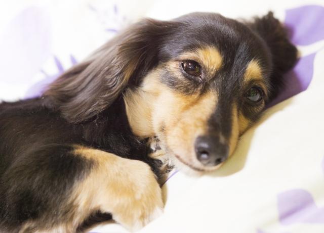犬のあくびの理由④:ストレスを感じている