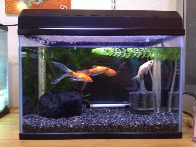 金魚は自分の住む環境に依存してしまうので注意が必要!