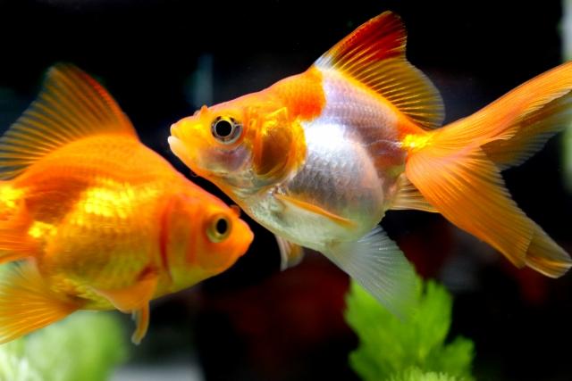 環境に問題がない場合は、金魚が病気の可能性も!