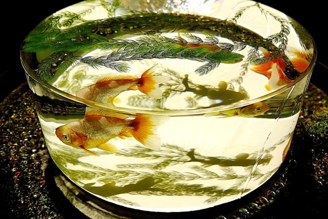 金魚鉢で飼育するのは危険?酸欠になる可能性があります。