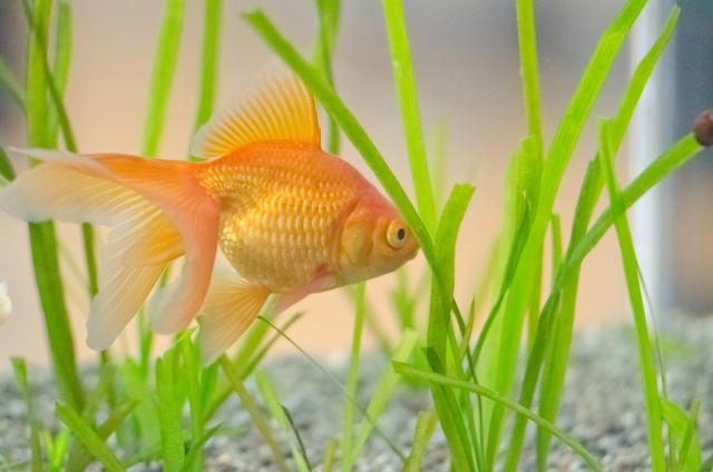"""金魚には""""胃袋""""がないという事実"""