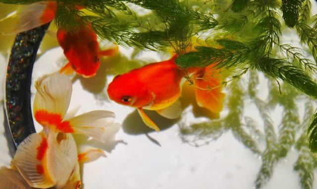 飼いやすさで見る!初心者でも安心な金魚のおすすめ種類を総まとめ!