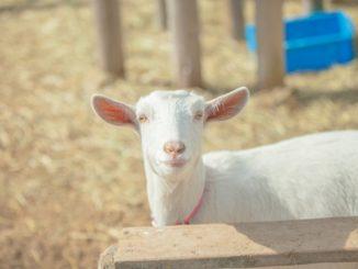 ヤギへの適切な餌の量や与え方とは?おすすめの飼育方法を徹底解説!