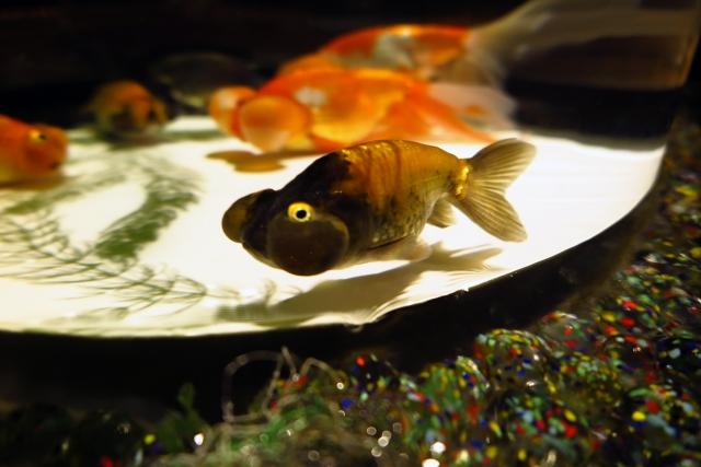 室内でヒーターを利用しない場合、注意しないと金魚が死んでしまうことも・・・。