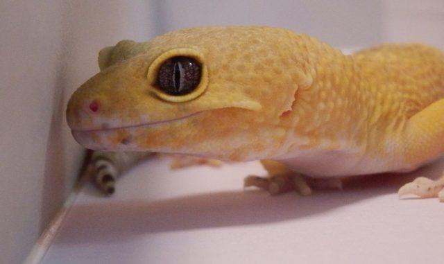 初心者の方必見!飼育が簡単なペットとして人気のトカゲの種類6選!