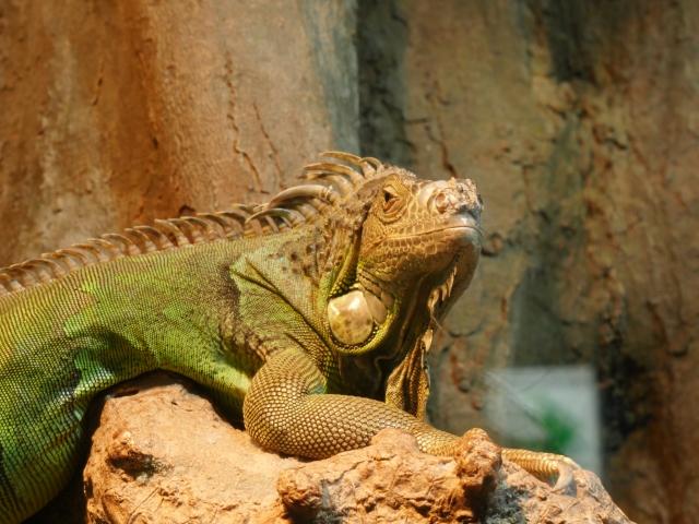 恐竜に近いトカゲである「グリーンイグアナ」も手の届きやすい値段です