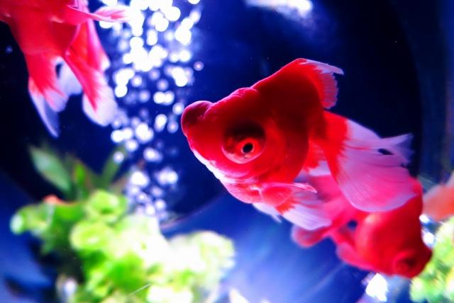 金魚の中でも飼育が難しいと言われるのが「ピンポンパール」