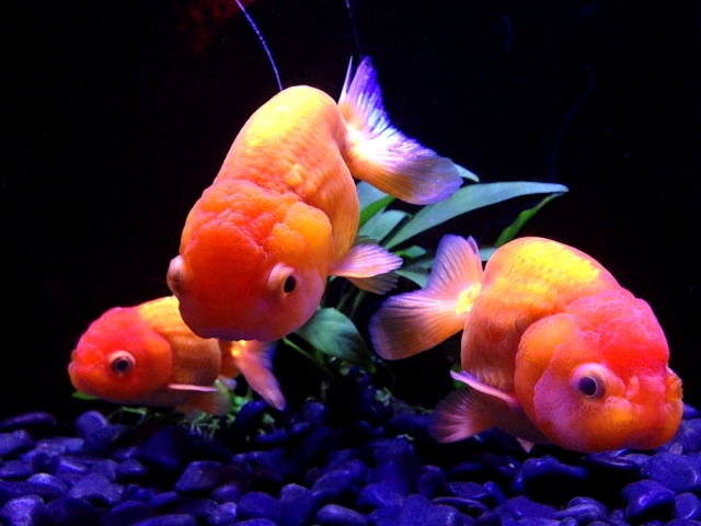 金魚の王様と呼ばれる「ランチュウ」は少し飼育難易度が上がります。