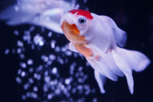 白と赤のコントラストが美しい「丹頂(タンチョウ)」もオススメ!