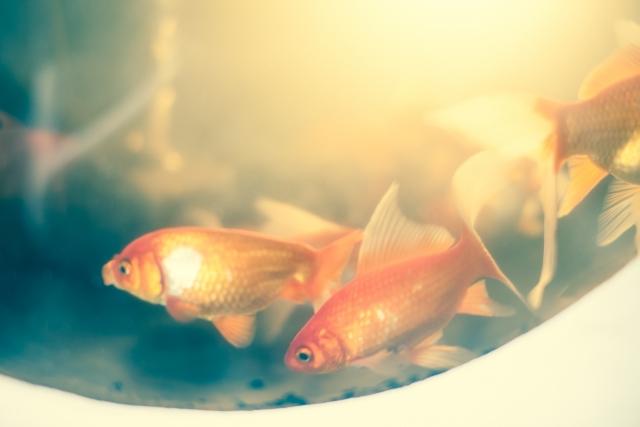 日本で一番馴染みがある品種が「和金(ワキン)」です!