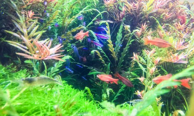 初めて熱帯魚を飼育する方へ!最初の水槽の大きさはどのくらいのものを選ぶべきか?