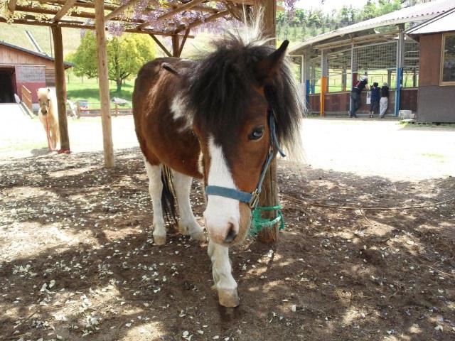 馬をペットとして飼育するのも夢ではない!