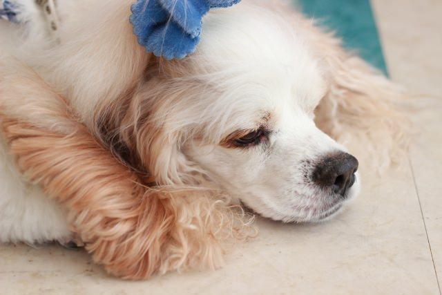 犬の皮膚病ってどんなものなの?