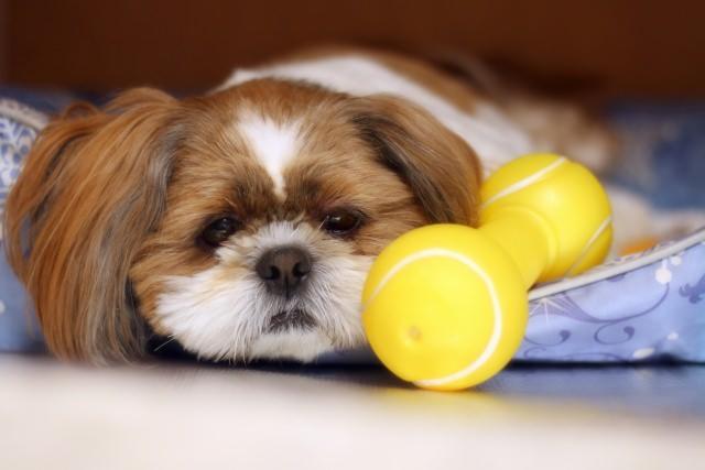 飼い主さんが気をつけたい、避妊手術後の犬への対応ポイント
