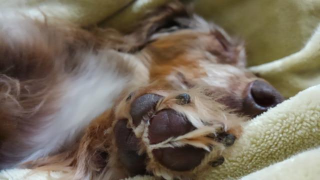 犬の爪切りが必要な理由は?ケアを怠るとどうなるの?