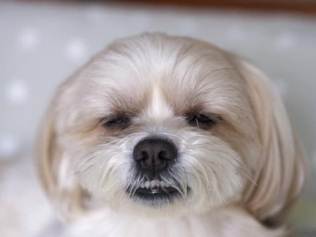 犬の涙やけは何が原因?