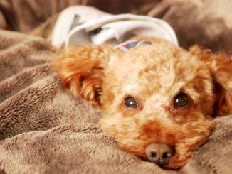 避妊手術や去勢を行った後の犬はどう対応する?