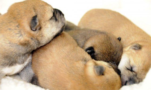 犬の妊娠から出産までの期間ってどのくらい?時期による兆候はあるの?